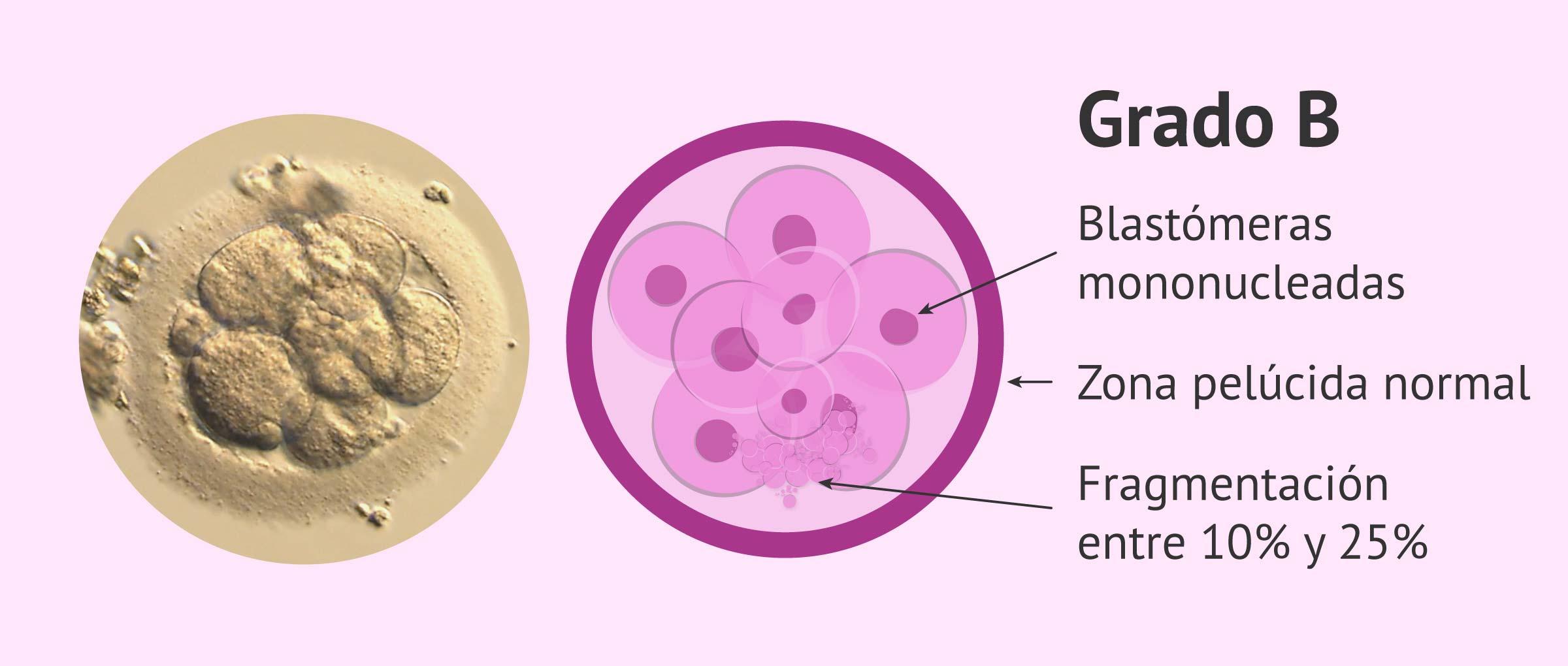 Calidad embrionaria: grado B