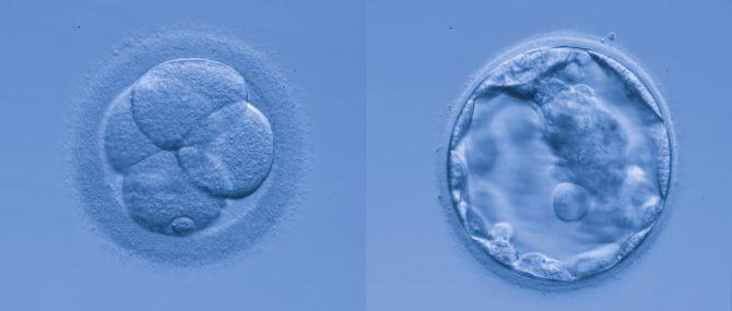 Imagen: Embriones laboratorio