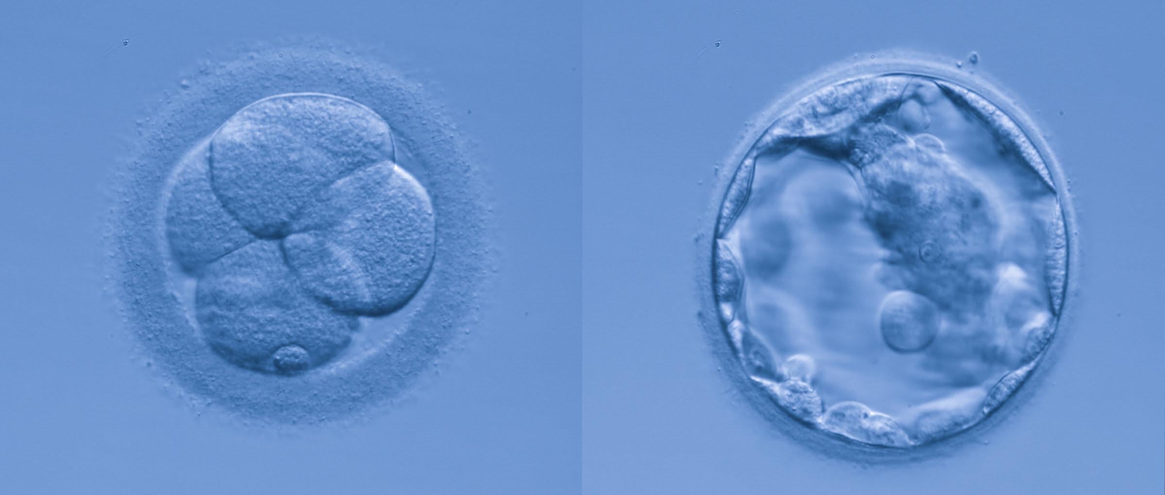 Embriones en el laboratorio