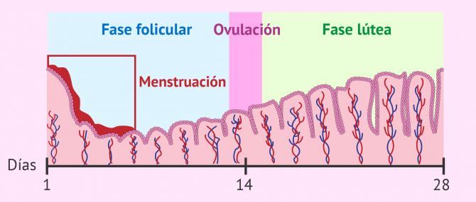 Imagen: Cambios del endometrio durante el ciclo menstrual