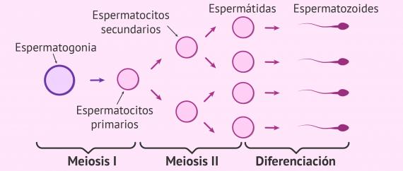 Imagen: Proceso de la espermatogénesis