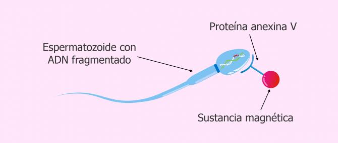 Imagen: Complejo espermatozoide-anexina V