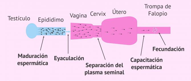 Imagen: Capacitación espermática natural