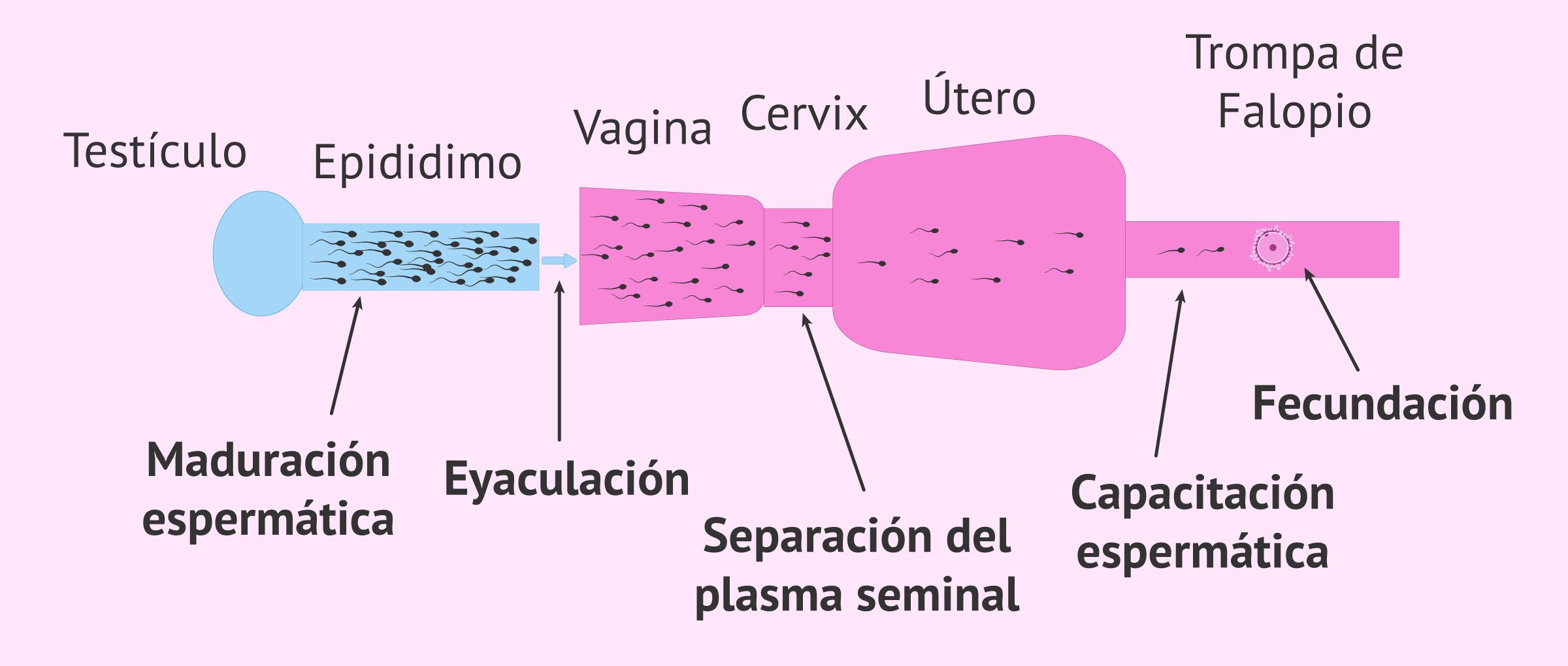 Capacitación espermática natural