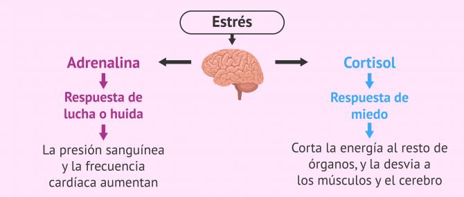 Imagen: Esquema de las hormonas del estrés
