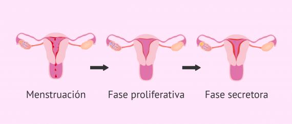 Estado del endometrio durante el ciclo menstrual