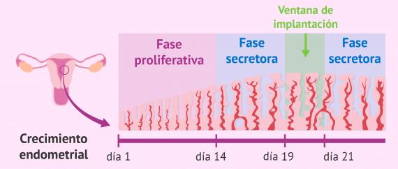 Fases del desarrollo del endometrio
