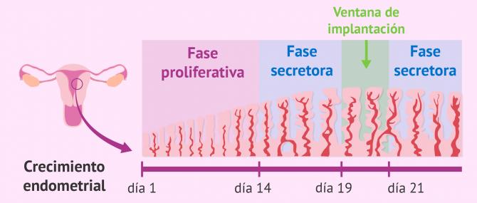 Imagen: Fases del desarrollo del endometrio