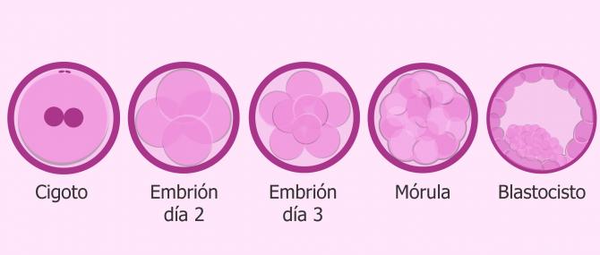 Imagen: Desarrollo embrionario