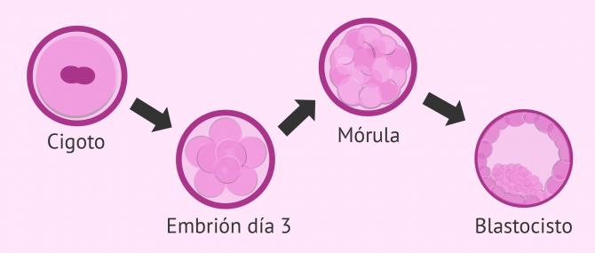Imagen: Desarrollo embrionario tras FIV
