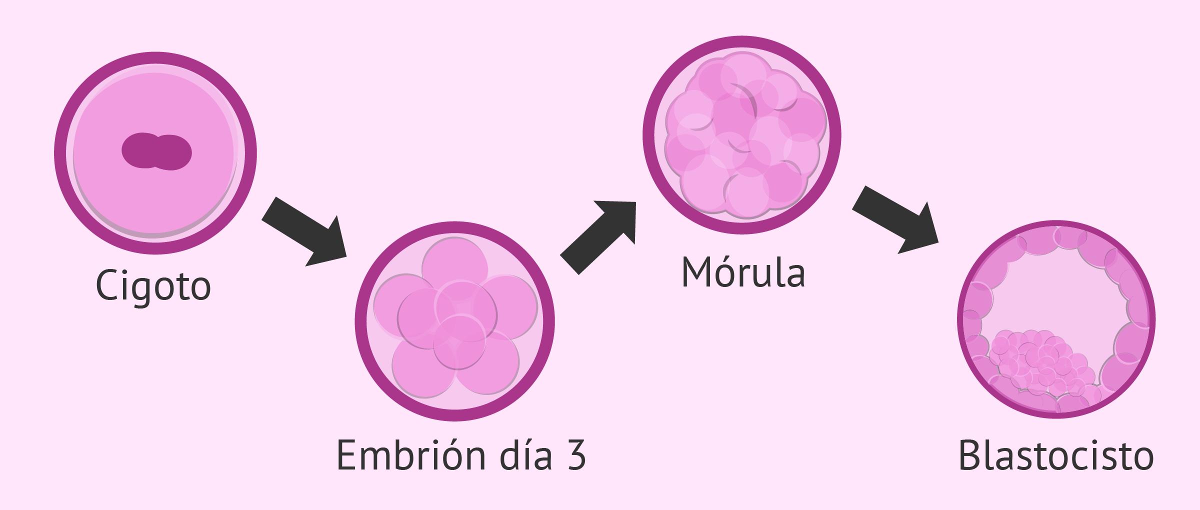 Evolución del embrión desde la fecundación