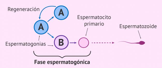 Imagen: Fase proliferativa o de multiplicación