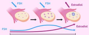 Estrimulación folicular por FSH