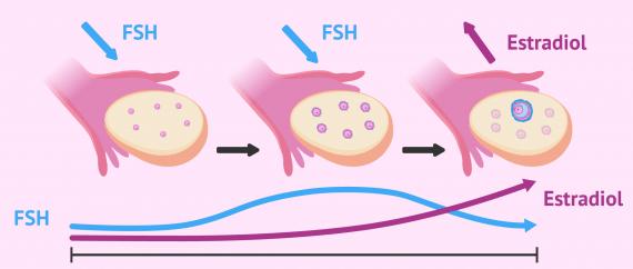 Imagen: Estrimulación folicular por FSH