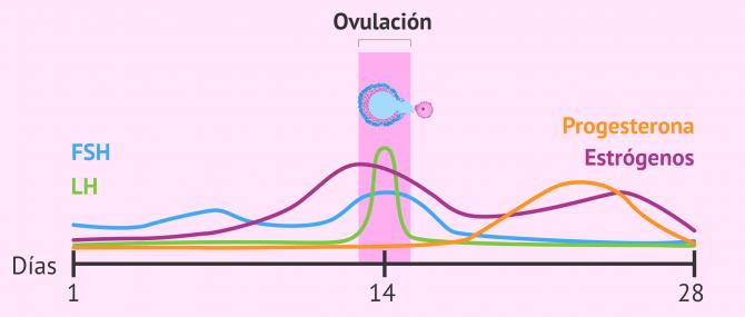 Imagen: Cambios hormonales en la fase ovulatoria