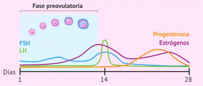 Imagen: Cambios hormonales y foliculares en la fase preovulatoria