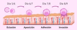 Pasos de la implantación del embrión