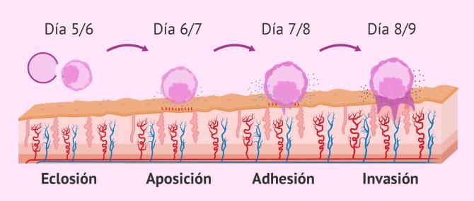 Imagen: Pasos de la implantación del embrión