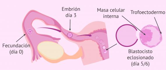 Imagen: Desarrollo e implantación del embrión en el útero