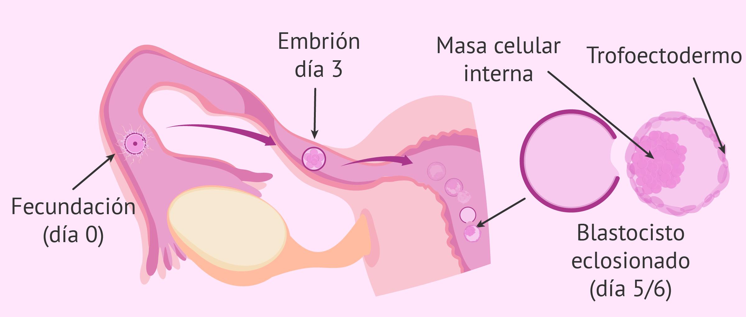 Desarrollo e implantación del embrión en el útero