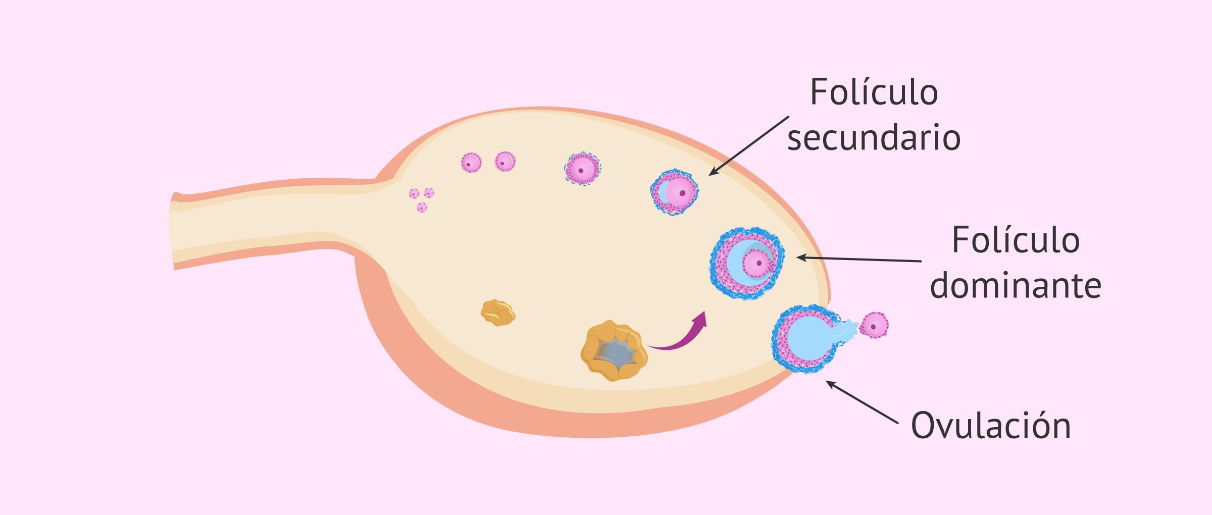 foliculo-dominante