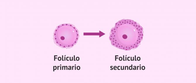 Imagen: Folículo primario a folículo secundario