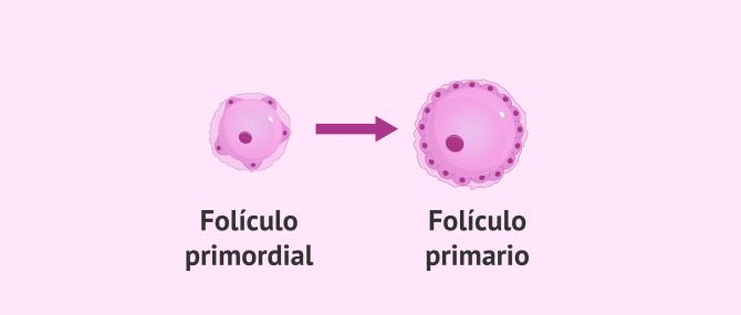 Imagen: Folículo primordial a folículo primario