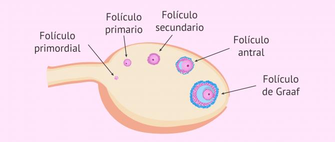 Imagen: Fases de la foliculogénesis