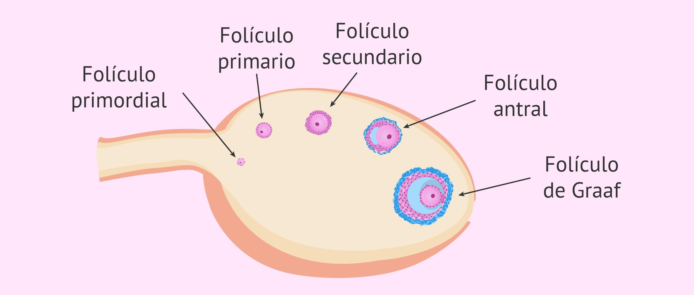 Fases de la foliculogénesis