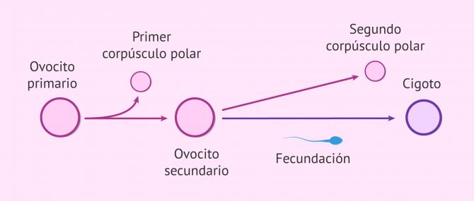 Imagen: Relación foliculogénesis y ovogénesis
