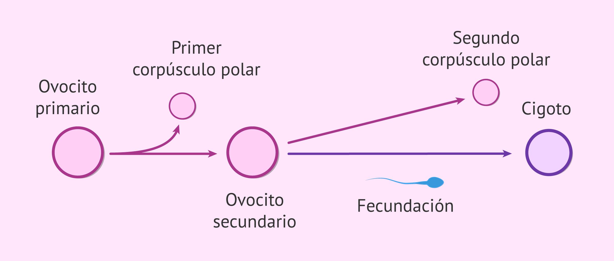Relación foliculogénesis y ovogénesis