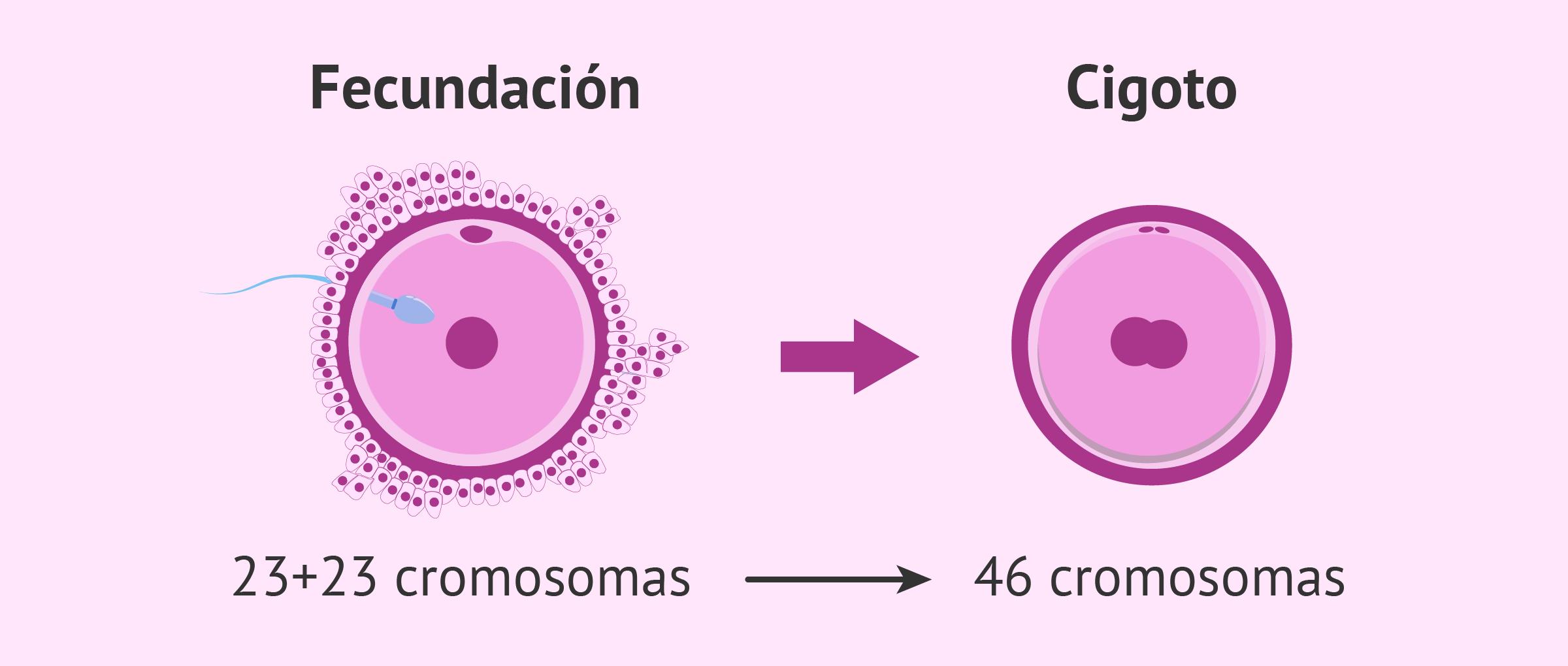 Fecundación y formación del cigoto