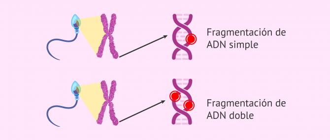 Imagen: Fragmentación del ADN espermático