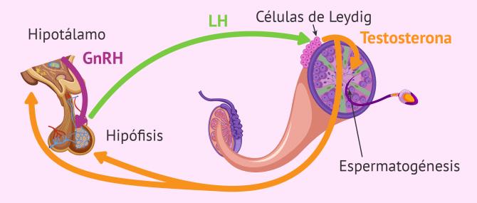 Imagen: Función de la LH en la espermatogénesis