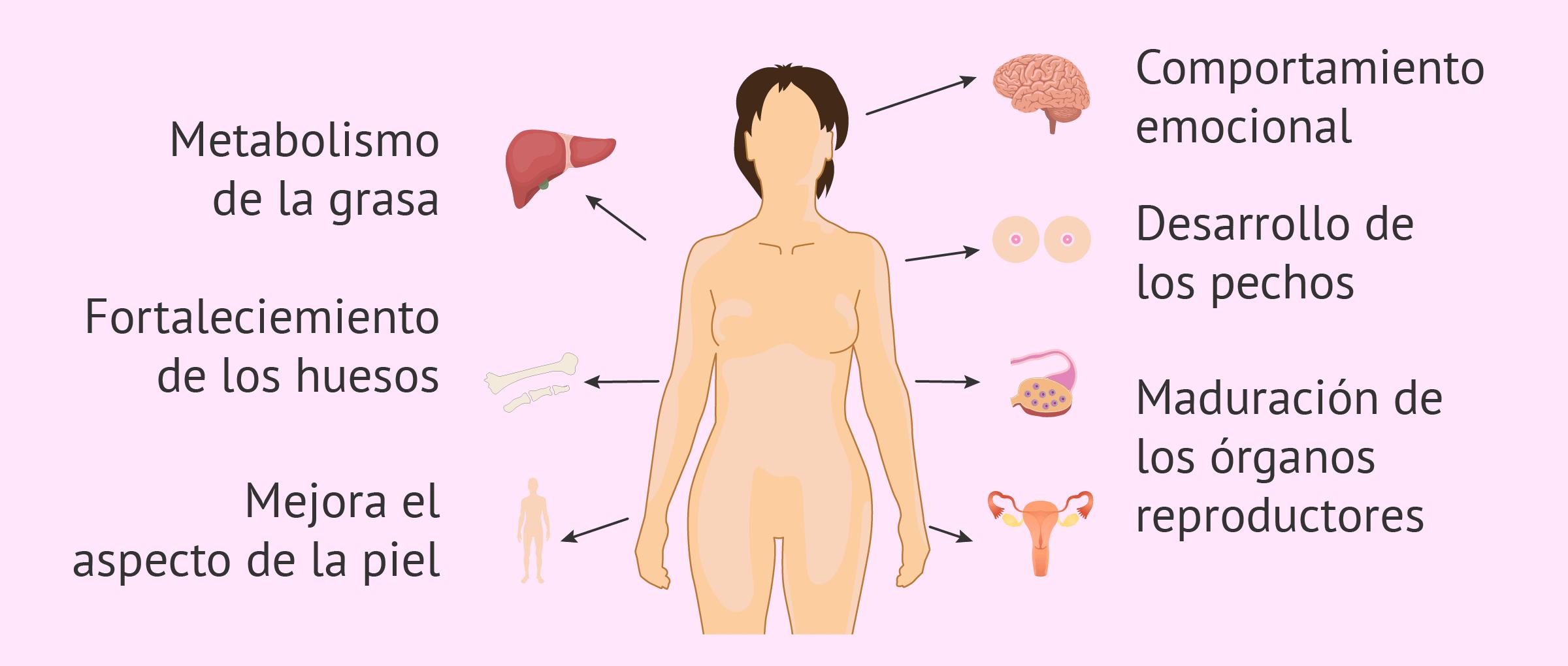 Funciones de los estrógenos