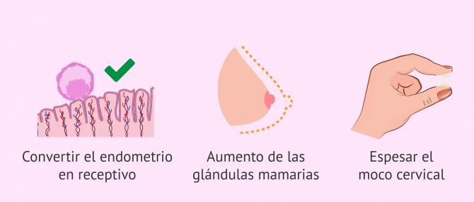 Imagen: Funciones de la progesterona en la mujer