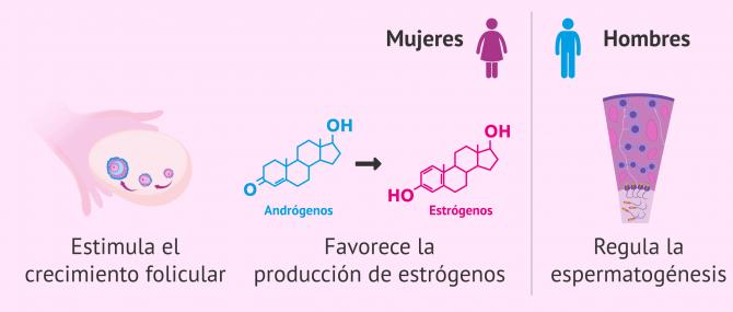 Imagen: Funciones de la hormona FSH