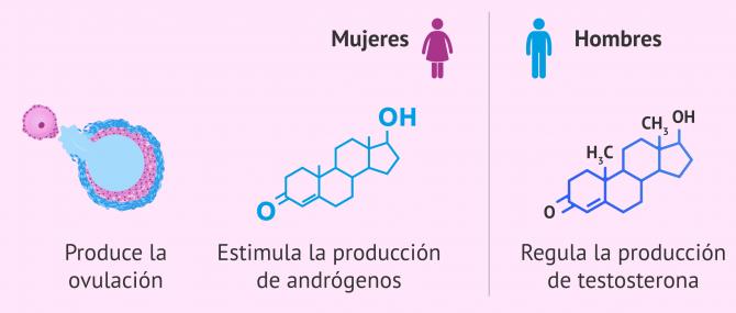 Imagen: Funciones de la hormona LH