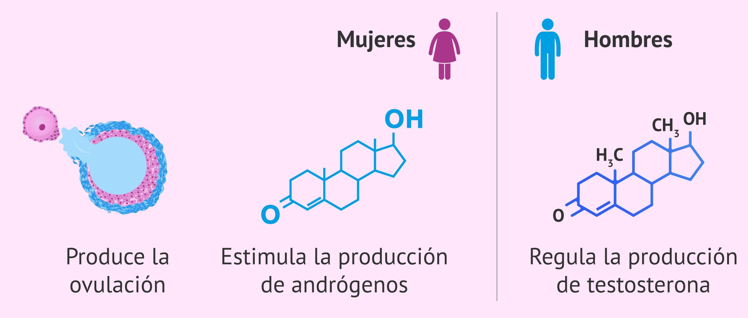 Funciones de la hormona LH