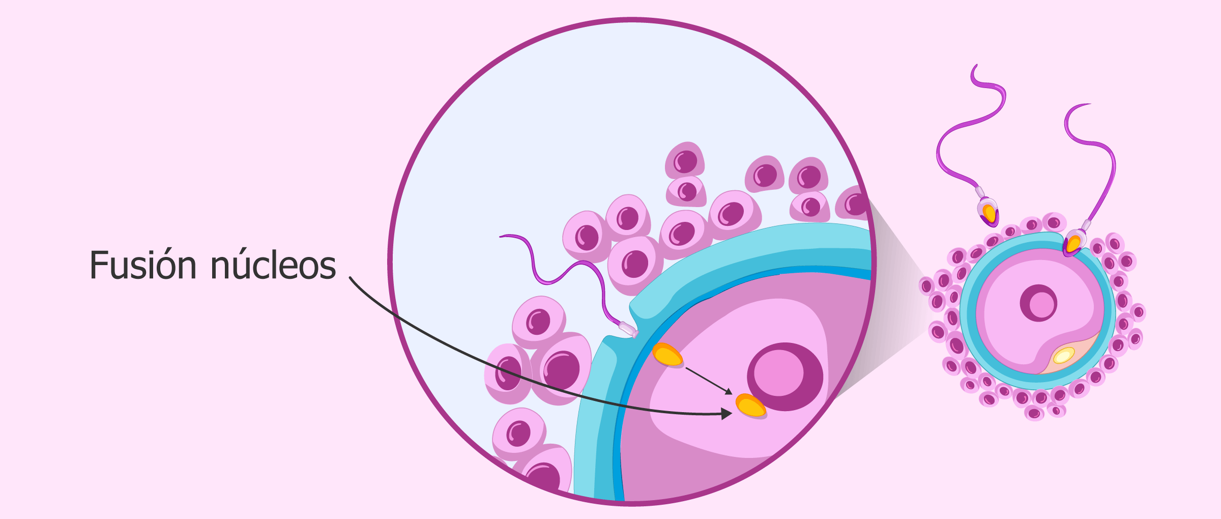 Fusión del núcleo del espermatozoide y del óvulo