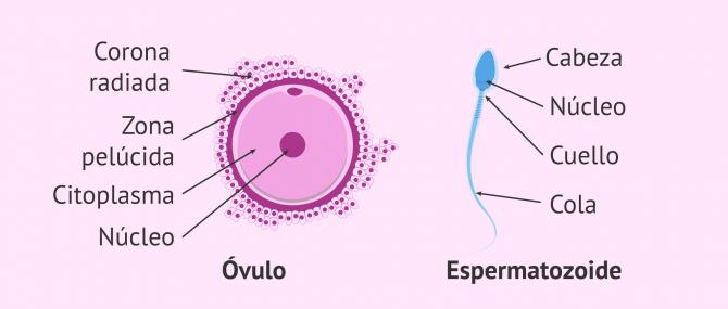 Imagen: Gametos: óvulos y espermatozoides