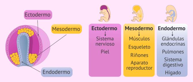 Imagen: Desarrollo de los órganos en el embrión