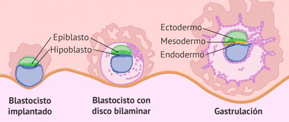 Imagen: Definición de la gastrulación humana