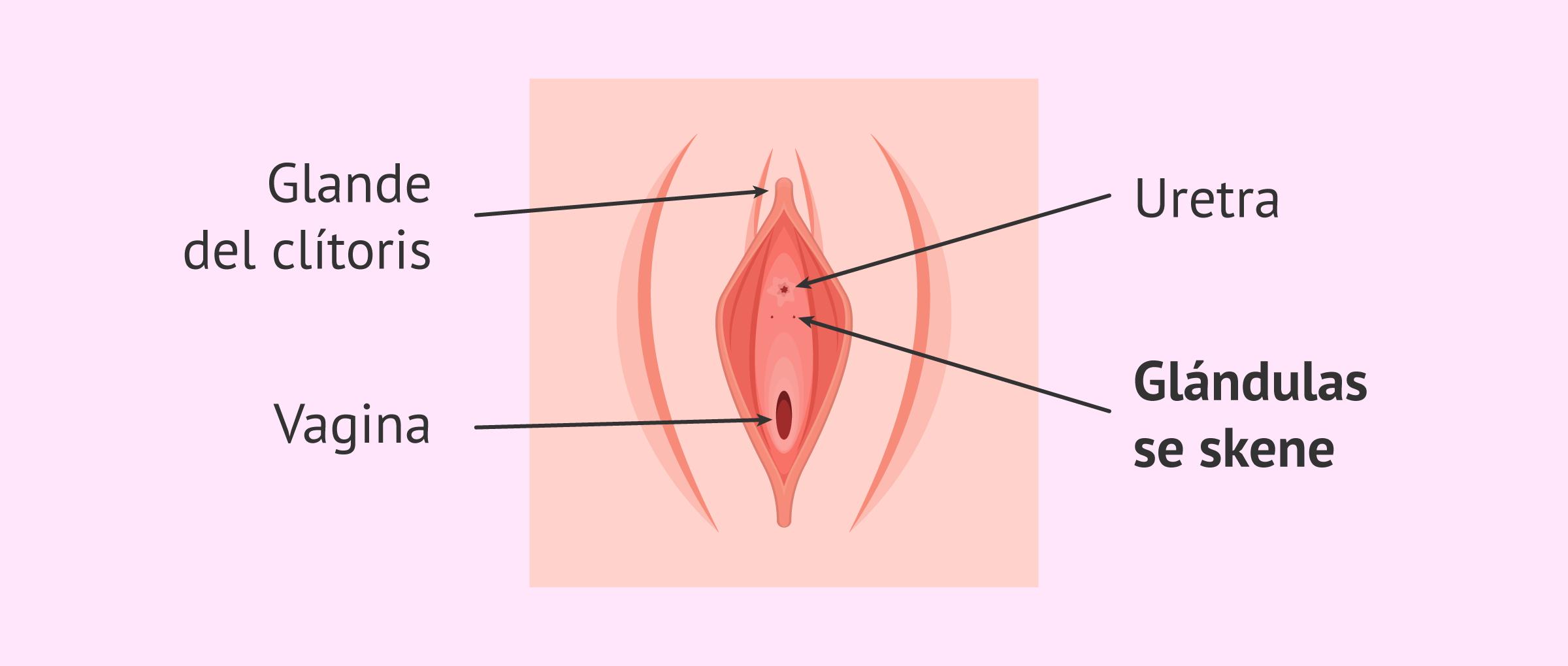 glandulas-de-skene
