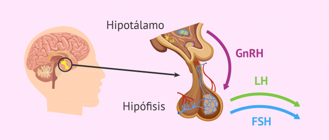 Hormonas sexuales masculinas y femeninas – ¿Qué funciones tienen?