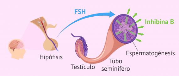 Imagen: Hormonas que actúan en la espermatogénesis