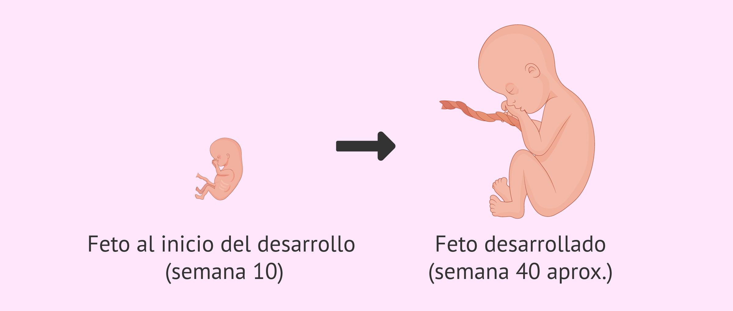 Ilustración de feto