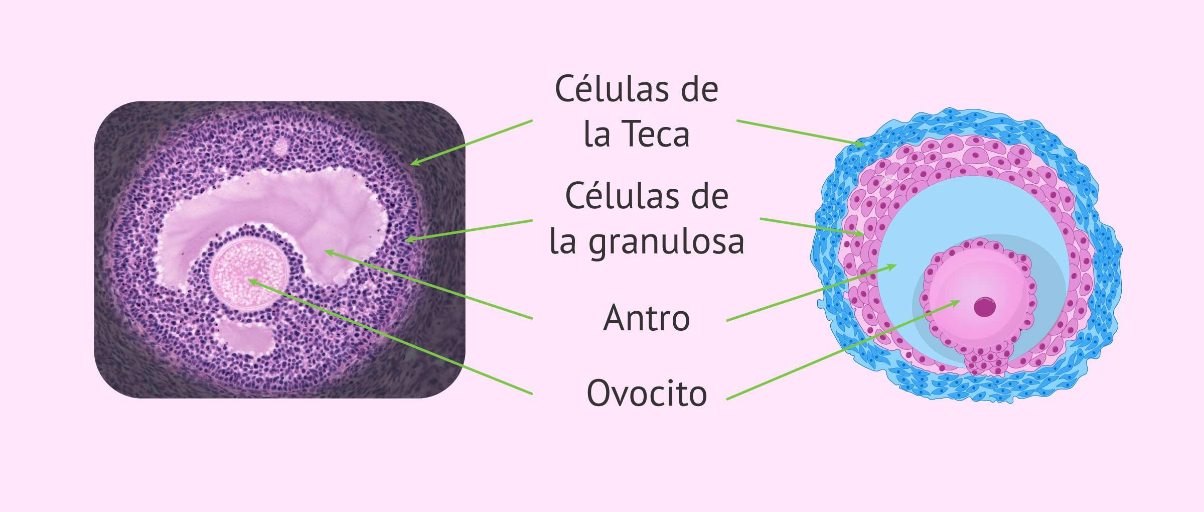 Imagen de un folículo ovárico