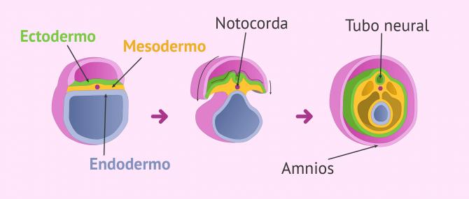 Imagen: Inicio de la organogénesis en el embrión