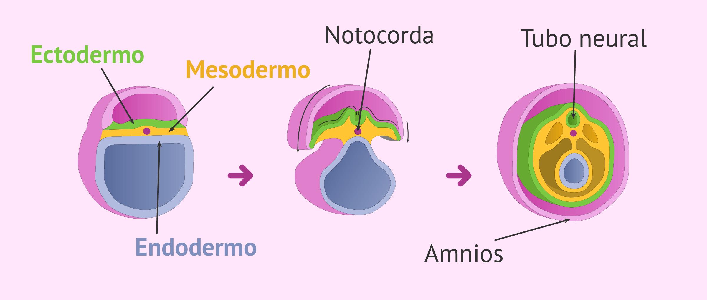 Inicio de la organogénesis en el embrión
